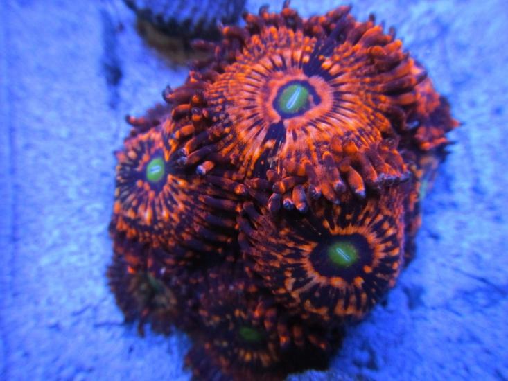 purple monster zoa